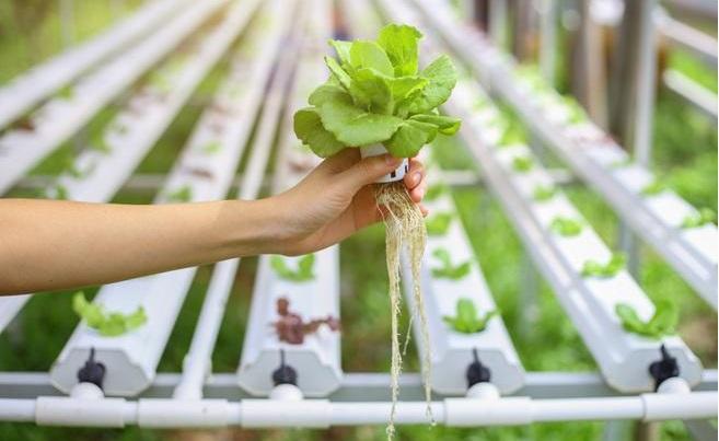 cultivo-hidroponico-rendimiento