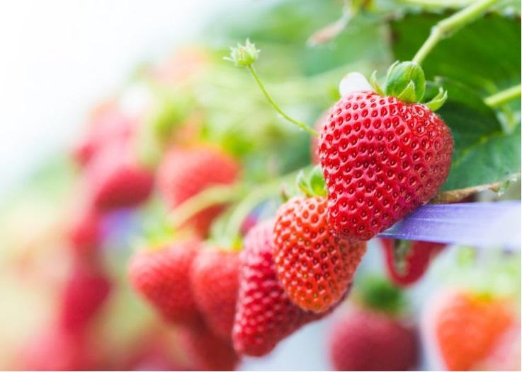 fresas-hidroponia-caseras
