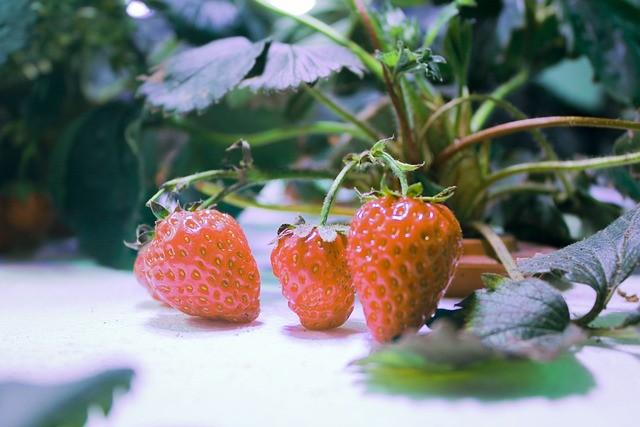 fresas-hidroponia